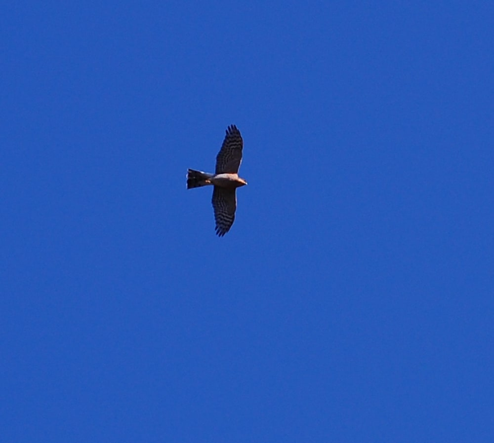 A Sparrow hawk flying over the house in Lanjaron