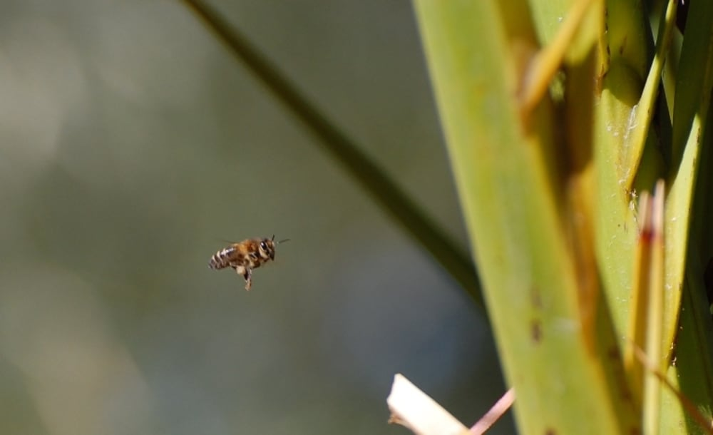 A bee on its way to the palm tree
