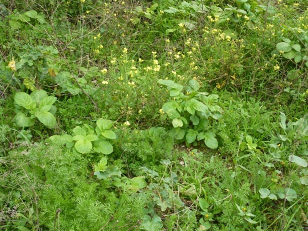 Potatoes growing amongst the weeds