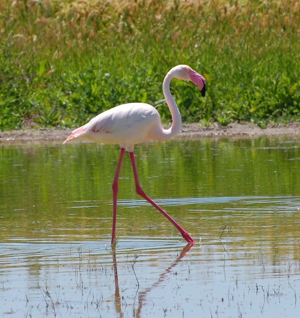 One Flamingo out of many thousand
