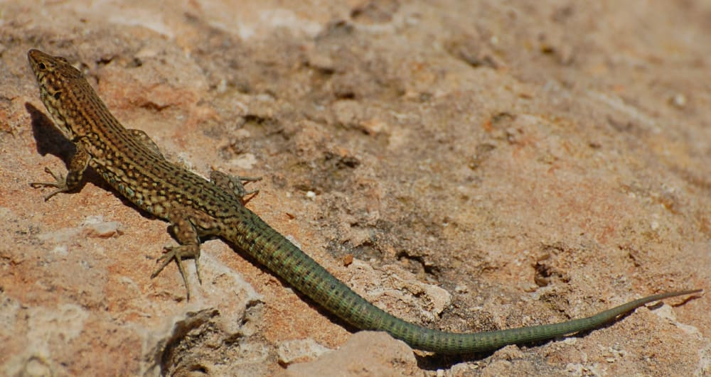 One of the many hundreds of endemic Lilford's Wall Lizards on Dragonera