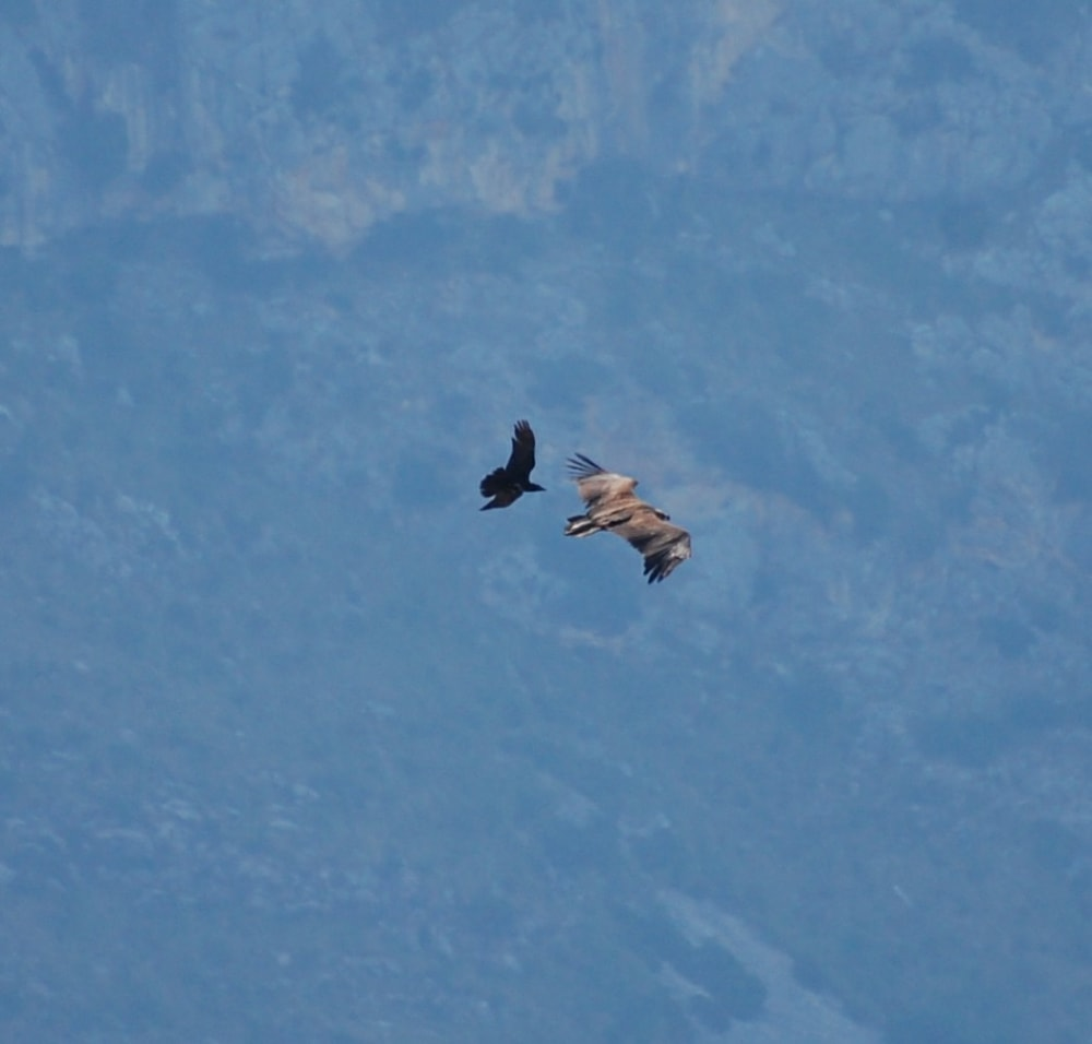 Didnt get treated to close up views of the Black Vultures this time but did see them getting chased away by some Ravens!