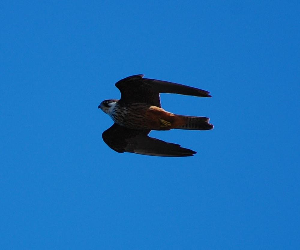 An Eleonora's Falcon on the island of Dragonera