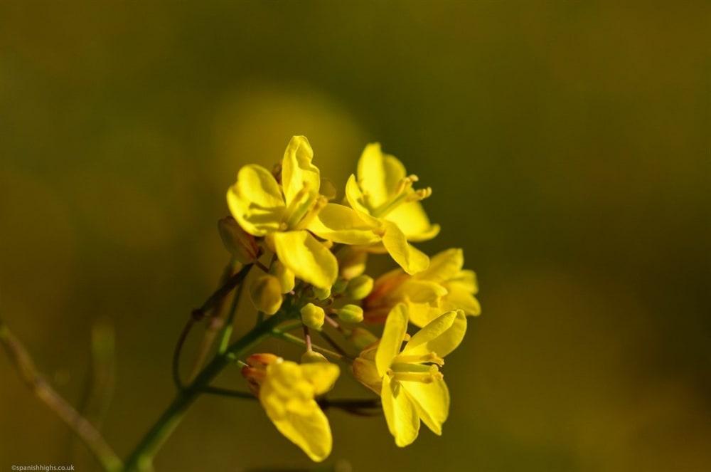 Field mustard - Sinapis arvensis