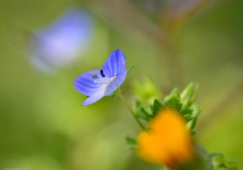 Common field-speedwell - Veronica persica