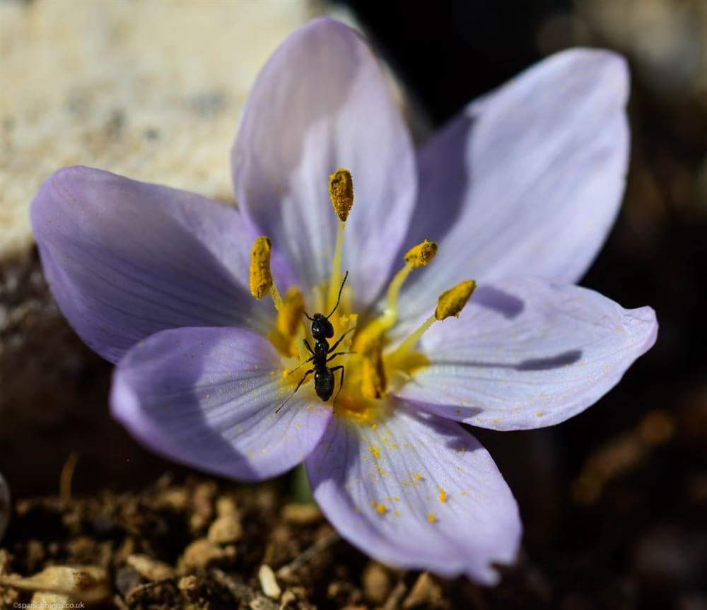 Another type of crocus but we have hit a deadend on the type