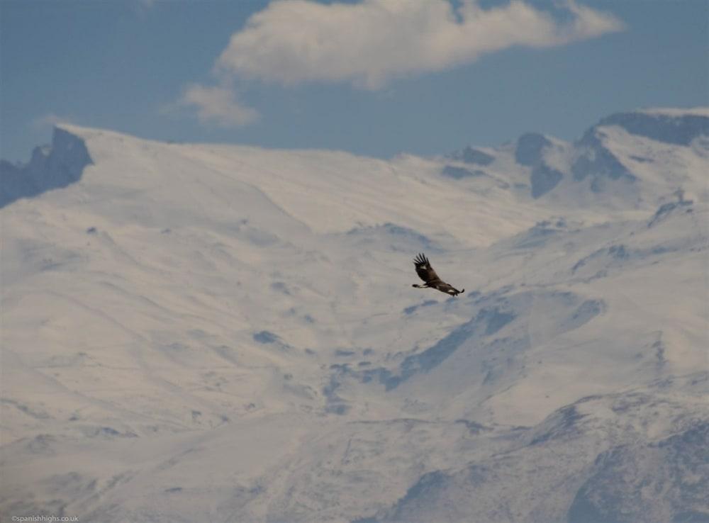 Golden Eagle in front of Veleta