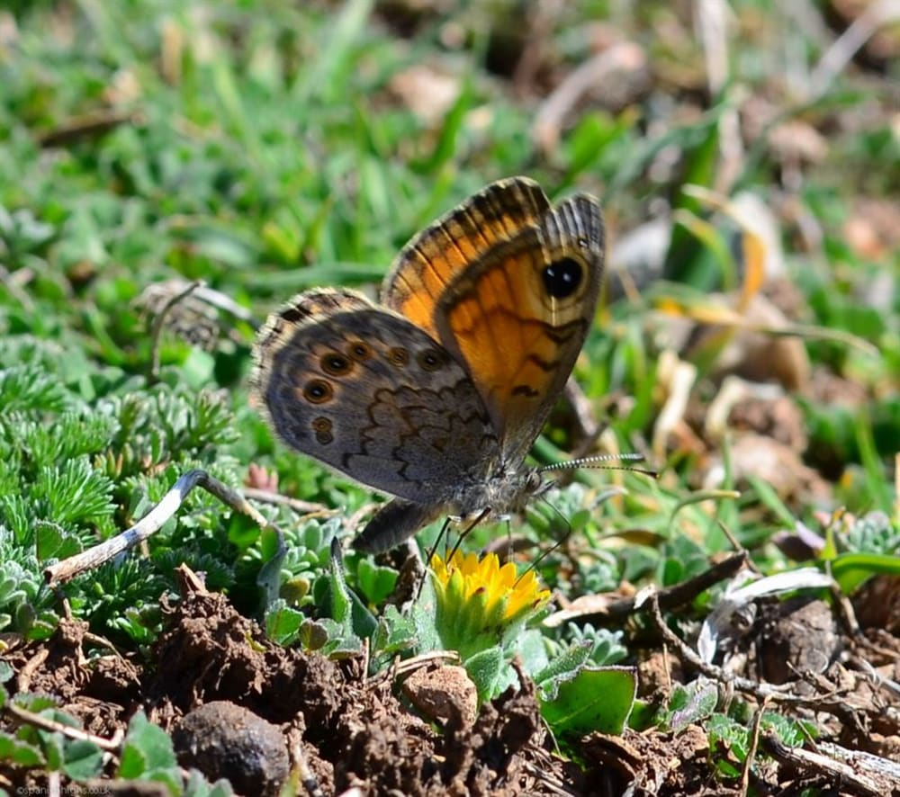 Assuming this is a type of Wall Brown
