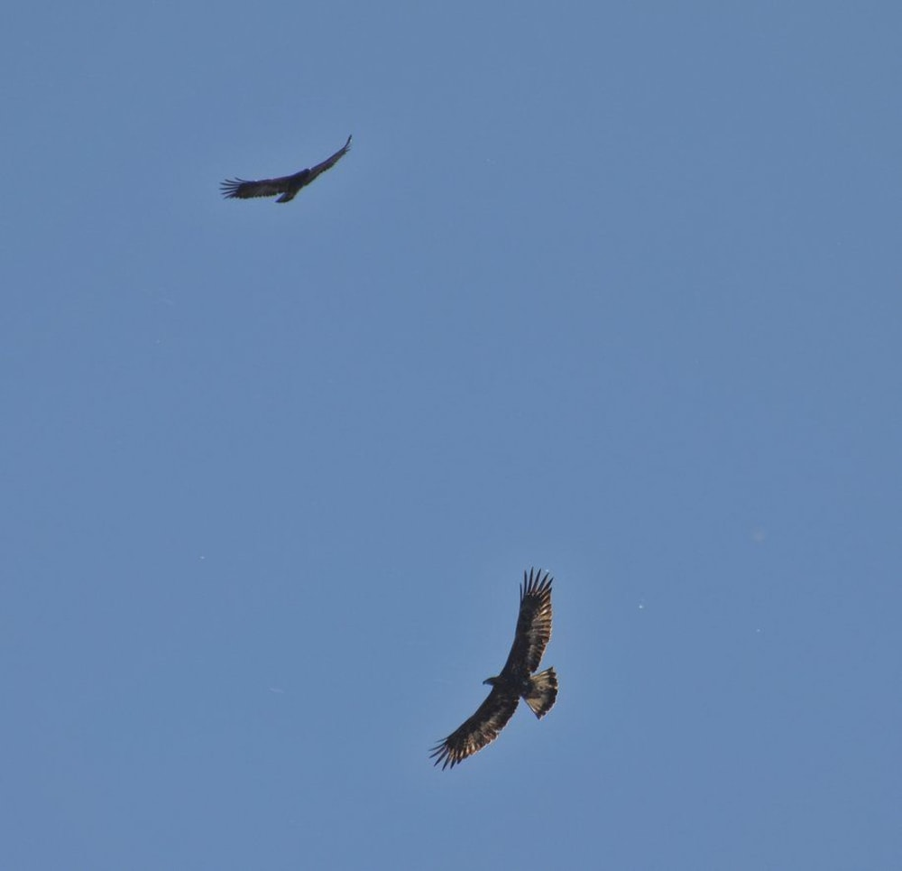 A pair of Golden Eagles