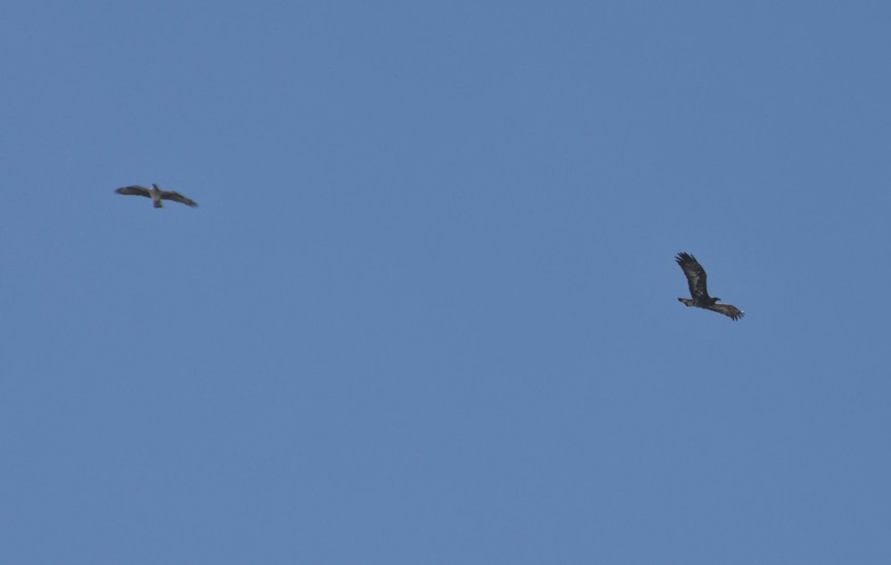 Bonelli's Eagle chasing Golden Eagle