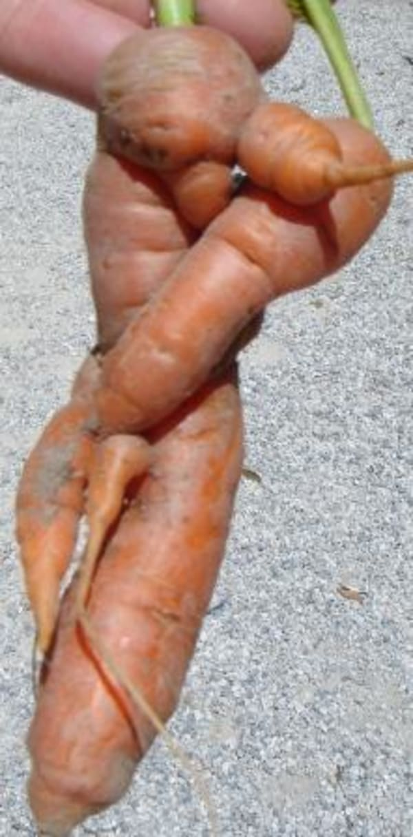 Carrots - where did it all go wrong!