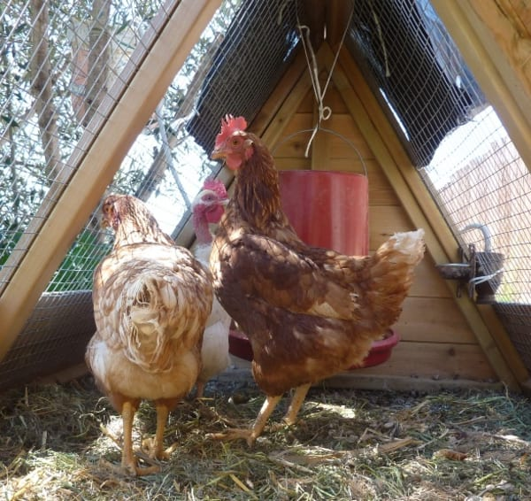 We got chickens!
