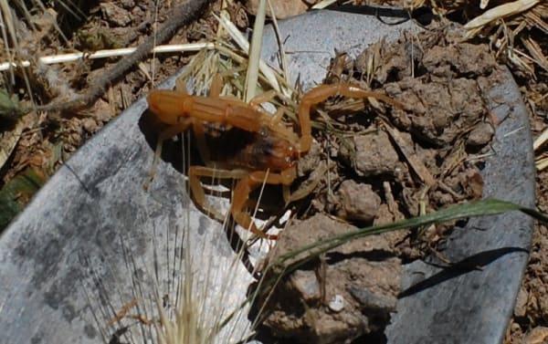 Scorpion! - Buthus occitanus or Buthus ibericus