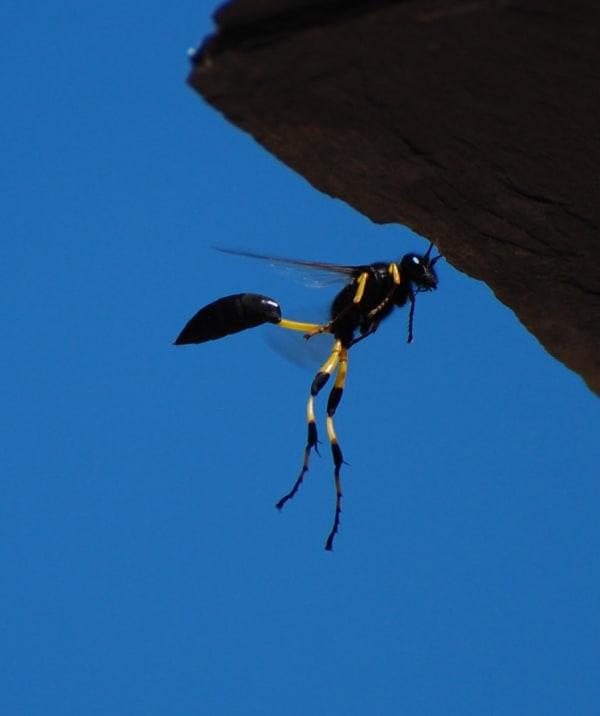 Thread-waisted Wasp (Sceliphron spirifex)