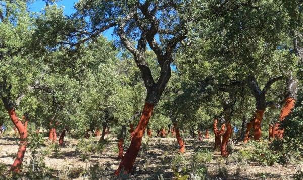 A walk through a cork oak forest