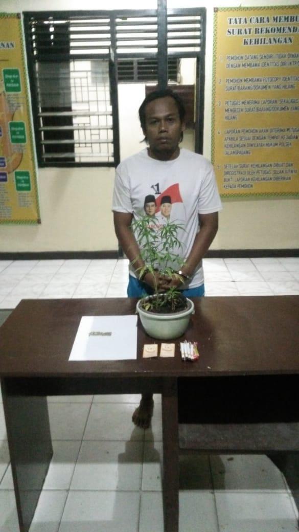 Penanam Ganja Warga Purwodadi Berhasil di Amankan Polsek Talang Padang