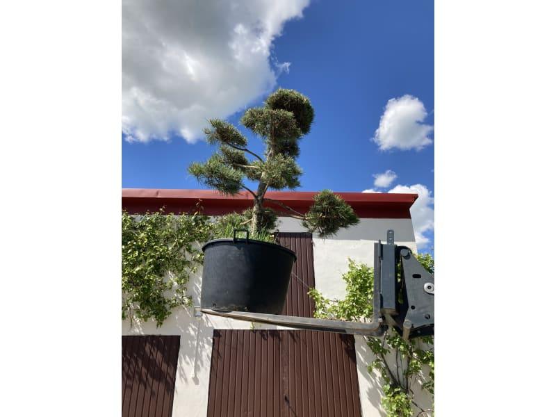Sosna bonsai - Pinus - KrzyweDrzewa.pl
