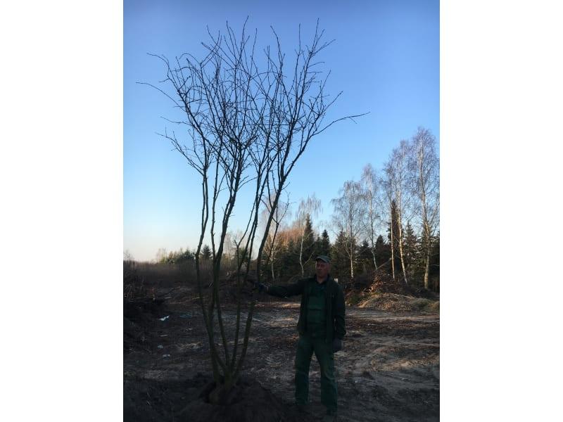 Złotokap pospolity - Laburnum anagyroides - KrzyweDrzewa.pl