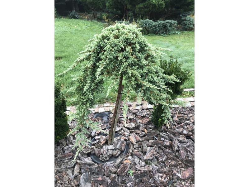Jałowiec - Juniperus - KrzyweDrzewa.pl