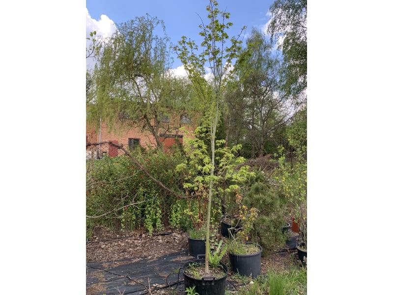 Klon palmowy - Acer palmatum - KrzyweDrzewa.pl