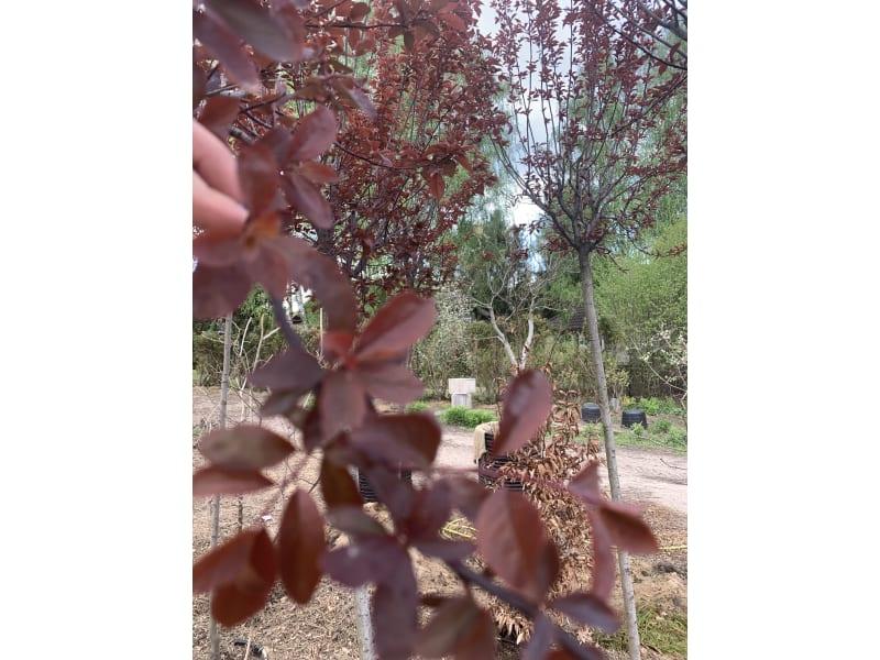 Śliwa wiśniowa - Prunus cerasifera 'Pissardii' - KrzyweDrzewa.pl