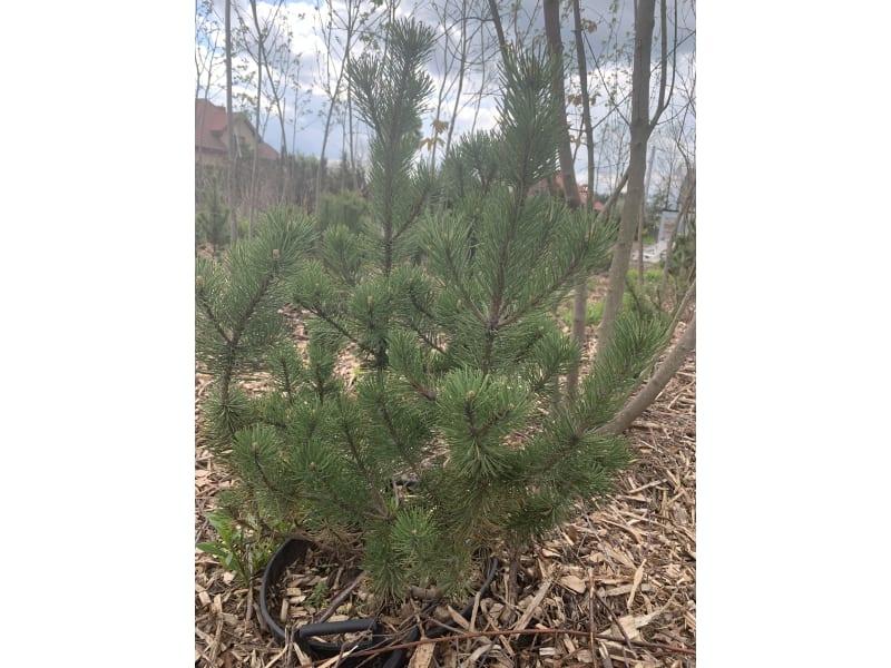 Kosodrzewina - Pinus mugo - KrzyweDrzewa.pl