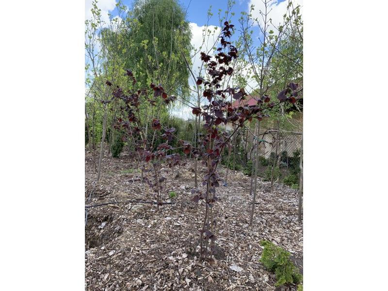 Leszczyna purpurowa - Corylus maxima Purpurea - KrzyweDrzewa.pl