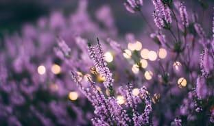6월, 보랏빛 융단이 펼쳐지는 라벤더 꽃밭