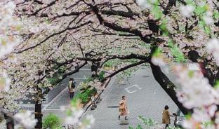 4월, 만개한 벚꽃은 봄의 생명력