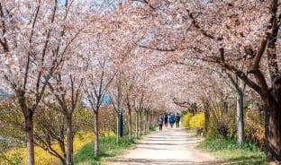 4월, 호수에 드리워진 벚나무