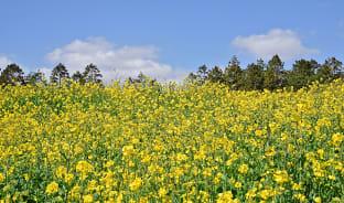 3월, 제주를 물들이는 노란 유채꽃
