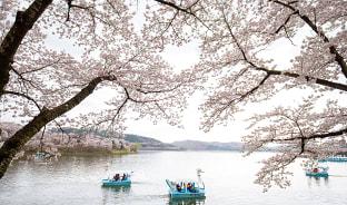 4월, 경주에 흩날리는 벚꽃잎