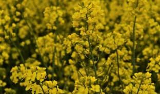 4월, 봄을 닮은 노랑 파도