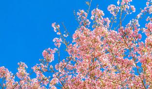 12월, 벚꽃으로 마무리하는 연말