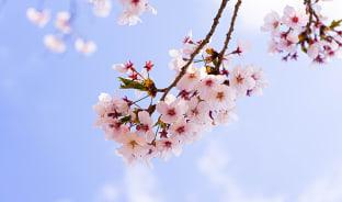 4월, 강을 덮은 벚꽃잎들