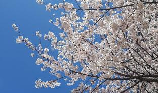 4월, 핑크빛 벚꽃 소나기