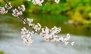 4월, 나주의 벚꽃은 한수제에서