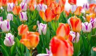 3월, 형형색색 튤립의 물결