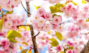 4월, 놓치기에는 아쉬운 벚꽃의 풍경