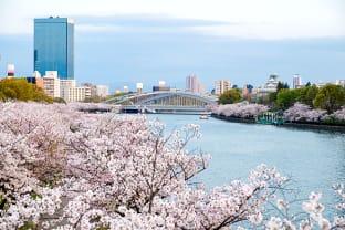 오사카 벚꽃