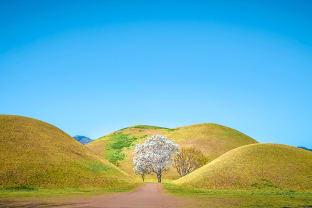 대릉원 목련나무