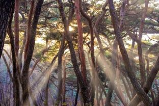 삼릉 소나무 숲