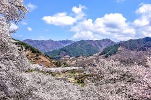 하동 벚꽃