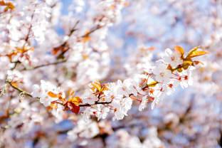 키칠라노 비치 벚꽃