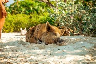 바하마 돼지섬