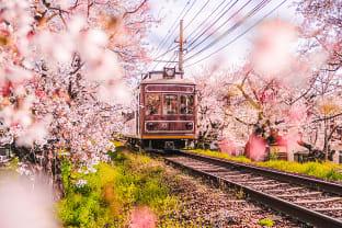 교토 벚꽃
