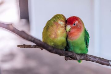 photo of lovebirds on a branch snuggling