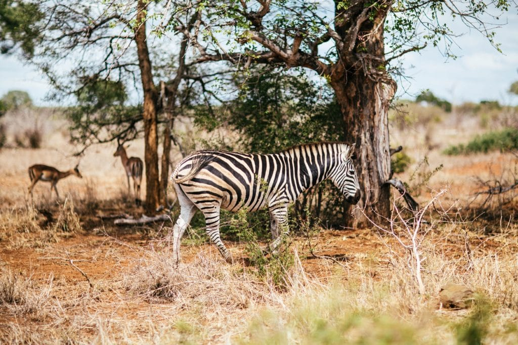 photo of a zebra grazing