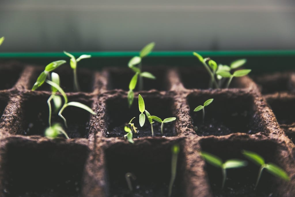 photo of seedlings growing in the dirt