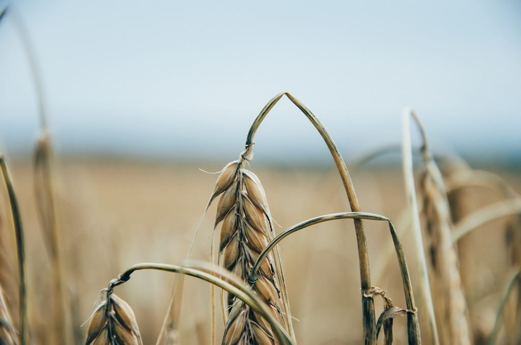 Photo of a wilting brown wheat as metaphor for RealtyShares failing to grow more